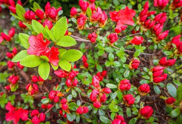 Kwitnący czerwony kwiat azalii w wiosennym ogrodzie ogrodniczym koncepcja kwiatowym tle