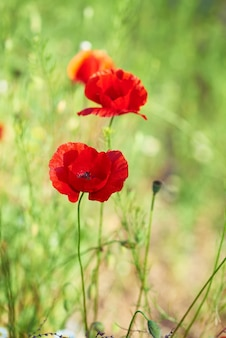 Kwitnący czerwony mak w polu na wiosenne popołudnie w słońcu