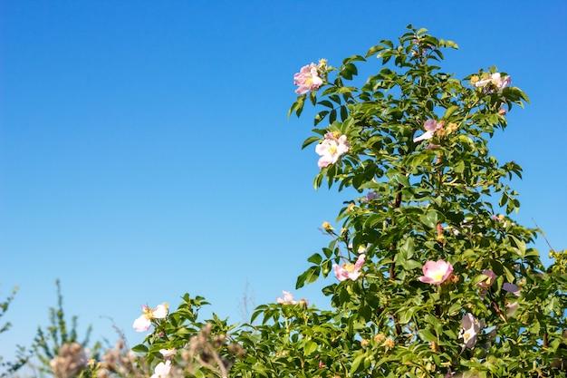 Kwitnący dzika róża na tle błękitnego nieba