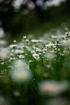 Kwitnący dziki kwiat matricaria chamomilla lub matricaria recutita lub rumianek.