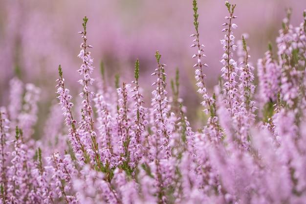 Kwitnący dziki purpurowy wrzos zwyczajny (calluna vulgaris). natura, kwiatowe, kwiaty.