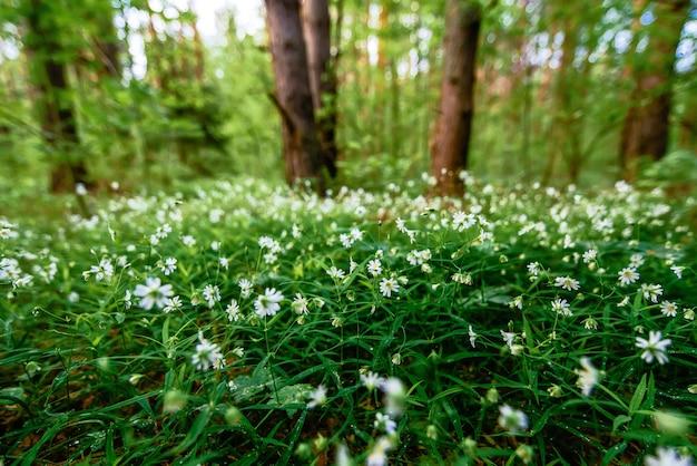 Kwitnący dziki zielony stellaria holostea w lesie na wiosnę