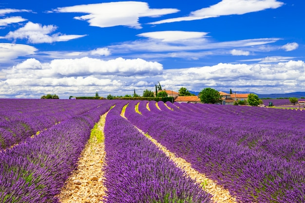 Kwitnący fiolet lawendy w prowansji we francji
