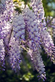 Kwitnący fioletowe drzewo glicynii w ogrodzie wiosną