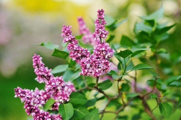 Kwitnący fioletowy krzew bzu