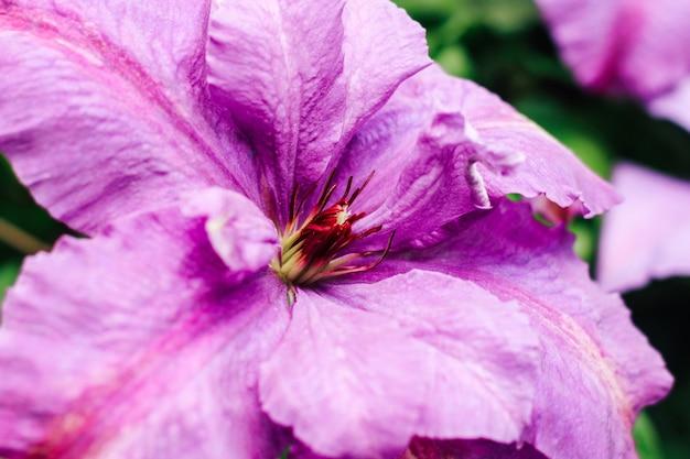 Kwitnący fioletowy kwiat powojników. roślina wieloletnia w ogrodzie.