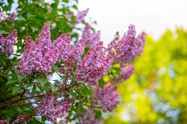 Kwitnący fioletowy liliowy krzew na wiosnę