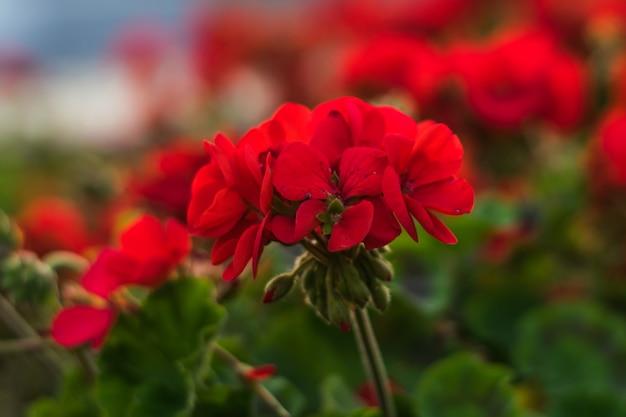 Kwitnący geranium na letnim kwietniku. koncepcja lato.