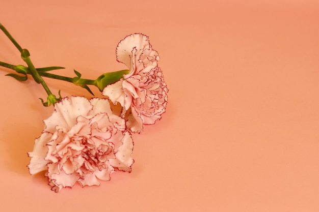 Kwitnący goździk na pastelowym tle.
