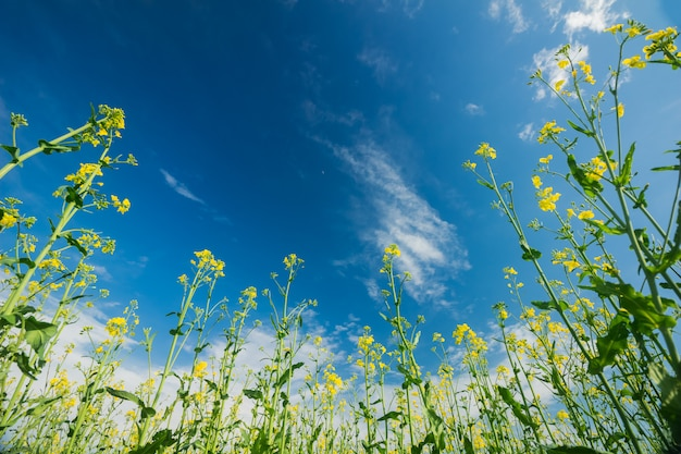 Kwitnący gwałt na tle błękitnego nieba z chmurami