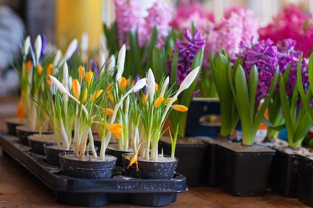 Kwitnący hiacynt i krokusy w doniczkach do przesadzania. kwiaciarstwo, ogrodnictwo.