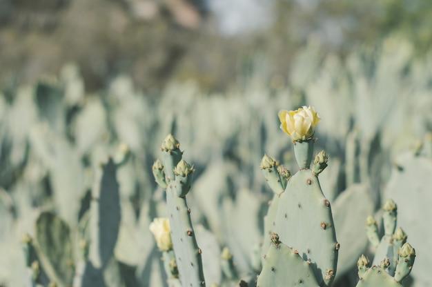 Kwitnący kaktus opuntia humifusa znany również jako wschodnia opuncja lub indyjska figa