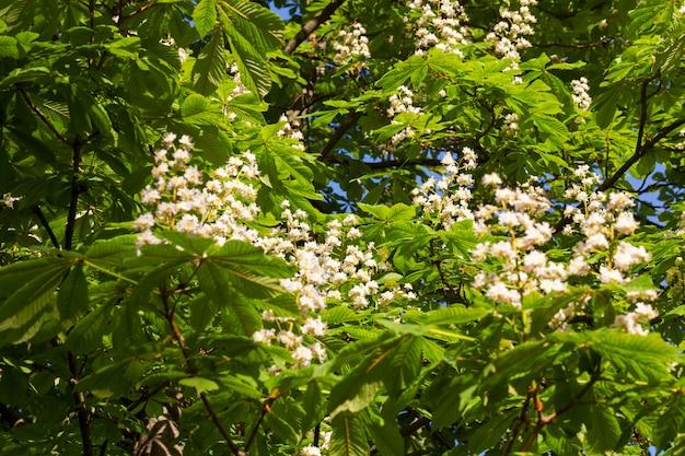 Kwitnący kasztan z kwiatami w kształcie świeczki na tle zielonych liści drzewa wiosną