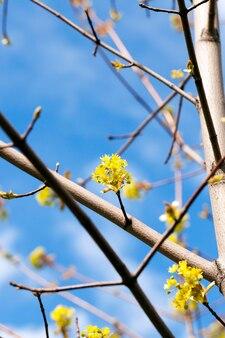Kwitnący klon, zbliżenie kwiatów klonu, zieleń, wiosna w ciągu roku, błękitne niebo
