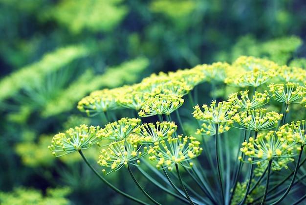 Kwitnący koperek w ogrodzie kuchennym, zbliżenie kwitnących ziół