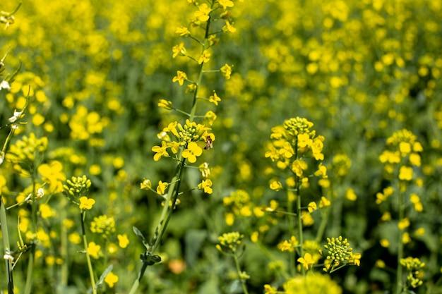 Kwitnący krajobraz pól rapu z błękitnym niebem, jasnożółte pola rzepaku i nektaru dla pszczelarstwa.