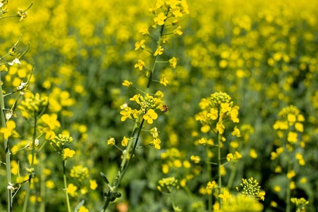 Kwitnący krajobraz pól rapu z błękitnym niebem, jasnożółte pola rzepaku rzepaku i nektaru do pszczelarstwa
