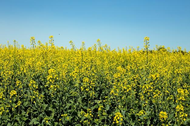 Kwitnący krajobraz pól rzepaku z błękitnym niebem, jasnożółtym polem rzepaku i nektarem do pszczelarstwa do produkcji biopaliw i bioenergii