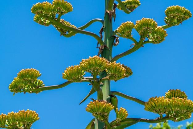 Kwitnący krzew agawy. umiera po kwitnieniu
