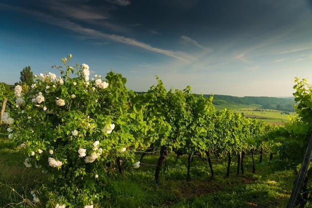 Kwitnący krzew białej róży w winnicy na wzgórzach o zachodzie słońca