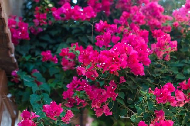 Kwitnący krzew bougainvillaea z różowymi kwiatami.