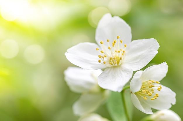 Kwitnący krzew jaśminu z bliska białe kwiaty na rozmytym naturalnym żółto-zielonym tle. kwitnienie wiosenne. skopiuj miejsce.