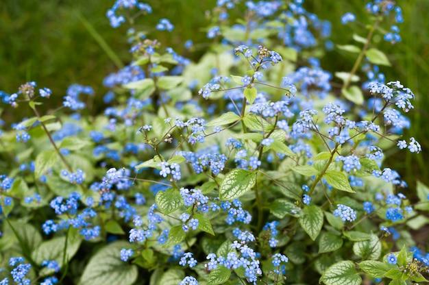 Kwitnący krzew niezapominajki, niebieski. wysokiej jakości zdjęcie
