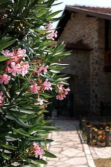 Kwitnący krzew różowych kwiatów na tle kamiennego wędrującego budynku. miejsce na tekst