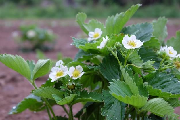 Kwitnący krzew truskawkowy