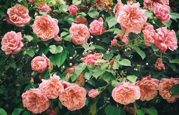 Kwitnący krzew z różowymi kwiatami róży w ogrodzie. naturalne tło