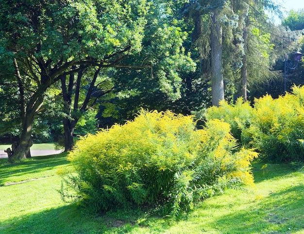 Kwitnący krzew z żółtymi kwiatami w letnim parku miejskim