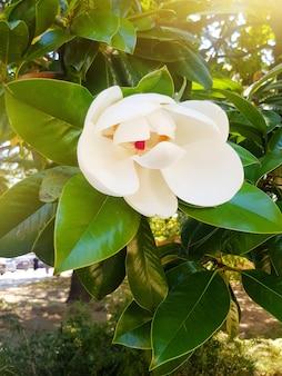 Kwitnący kwiat białej magnolii z bliska