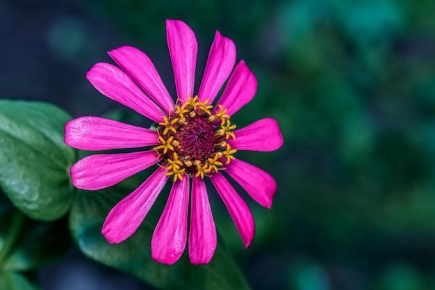 Kwitnący kwiat cynia elegans