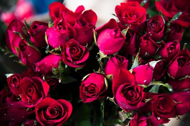 Kwitnący kwiat czerwonej róży