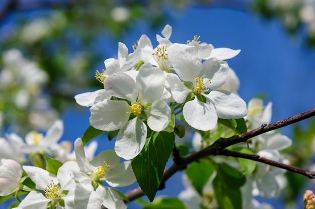 Kwitnący kwiat jabłka