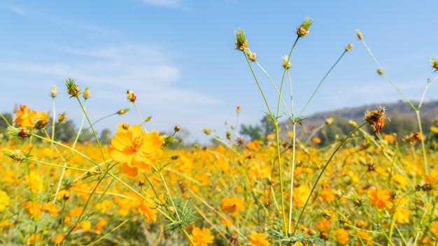 Kwitnący kwiat kosmosu w ogrodzie. świeża wiosna i lato kwiatowy łąka.