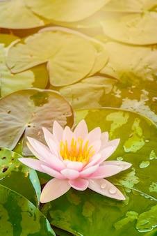 Kwitnący kwiat lotosu w ogrodzie botanicznym