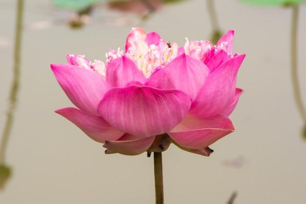 Kwitnący kwiat lotosu z bliska z tłem jeziora