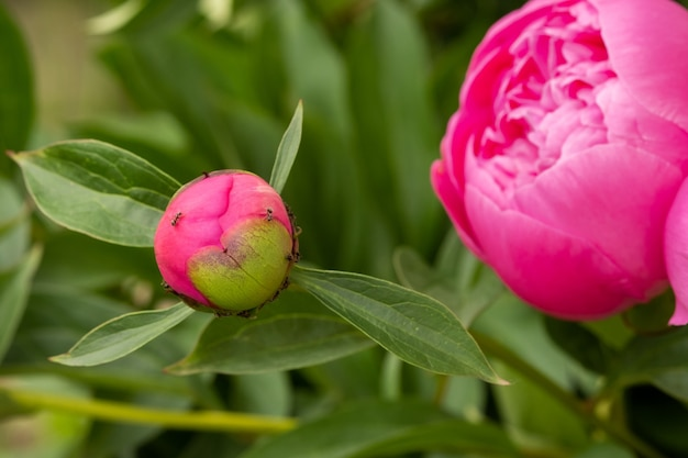 Kwitnący kwiat piwonii bud i mrówka.