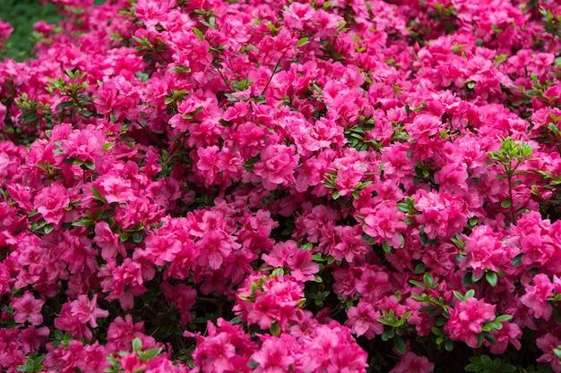 Kwitnący kwiat różanecznika. różowy kwiat rododendronów. wzór rododendronów. naturalne piękno. piękny kwitnący tekstura tło. tło kwiaty. zapach aromatyczny. kwitnący krzew.