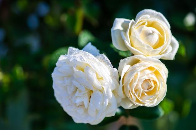 Kwitnący kwiat róży rano po deszczu jako koncepcja naturalnej karty