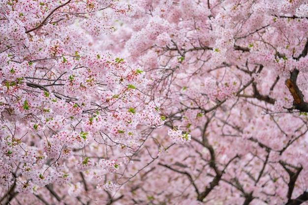 Kwitnący kwiat wiśni sakura