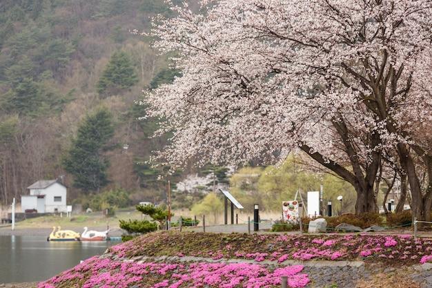 Kwitnący kwiat wiśni z różowym mchem na pierwszym planie jeziora kawaguchiko na północnym brzegu