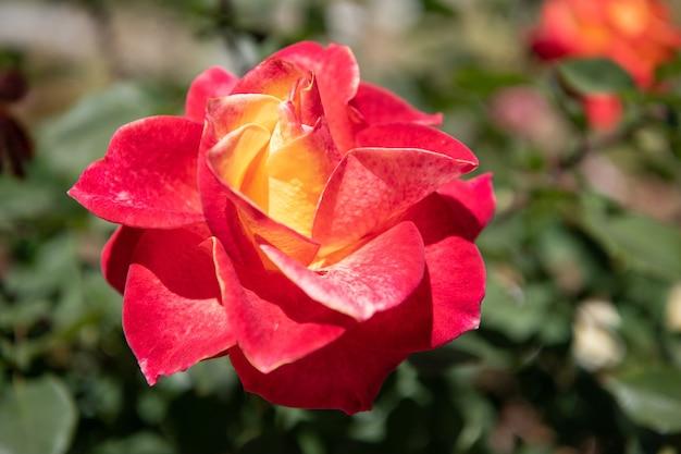 Kwitnący kwiat z czerwonymi płatkami na naturalnym tle krzewu, róża.