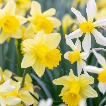 Kwitnący kwiaty różne rozmaitość daffodils zbliżenie
