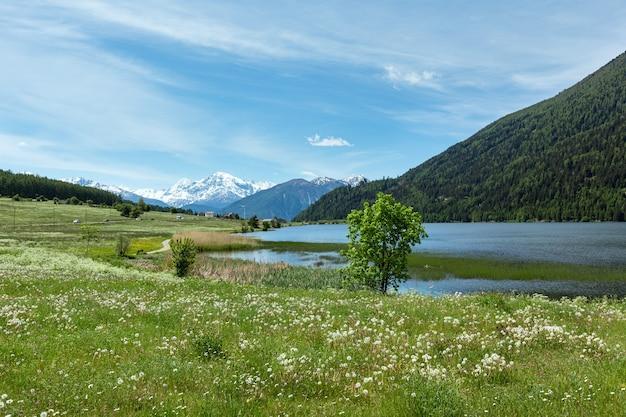 Kwitnący latem mniszek alpejski (włochy)