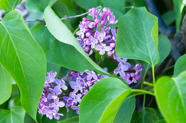 Kwitnący liliowy krzew liliowy kolor zbliżenie poziomo. kwitnące bzy na wiosnę. syringa meyeri. rodzina oliwna