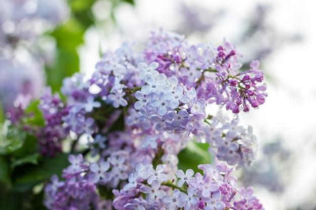 Kwitnący liliowy w sezonie wiosennym.