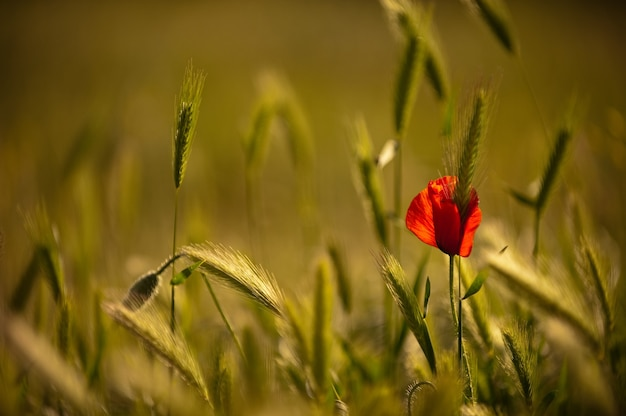 Kwitnący mak na polu pszenicy. zielona pszenica otacza samotny kwitnący mak. dzikie maki w polu pszenicy, kopia przestrzeń