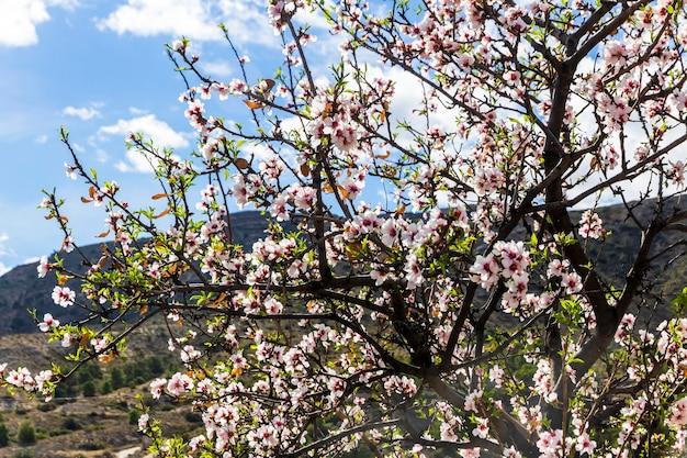 Kwitnący migdał wiosną w górach alicante.